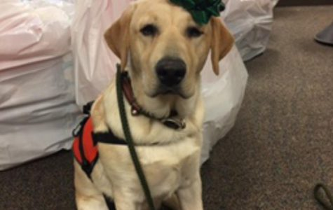 One of Brighton's service dogs showing Holiday spirit for the elf program.